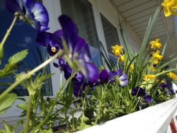 pansies-and-daffodils.jpg