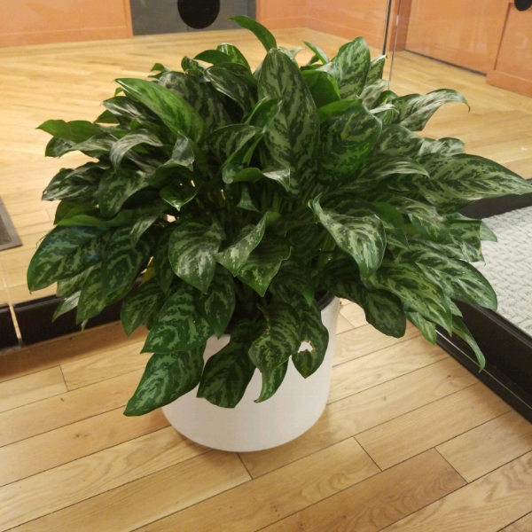 Chinese-Evergreen.png