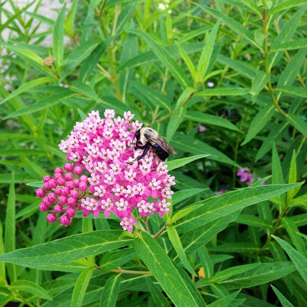 Pollinator-susancreech.jpg