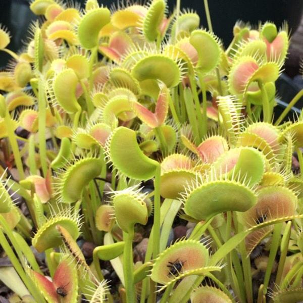 flytraps.jpg