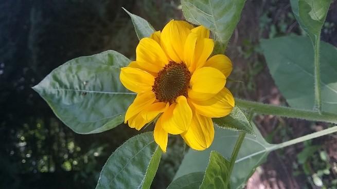 Sunflower-final.jpg