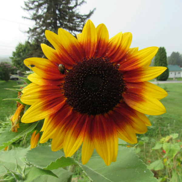 sunflower 7.png