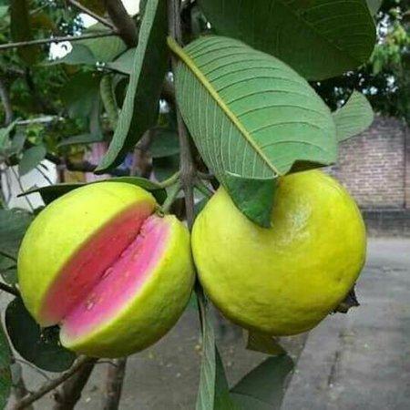 guava tree.jpeg