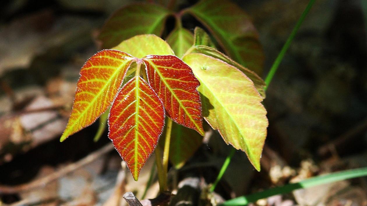 poison ivy 3.jpg