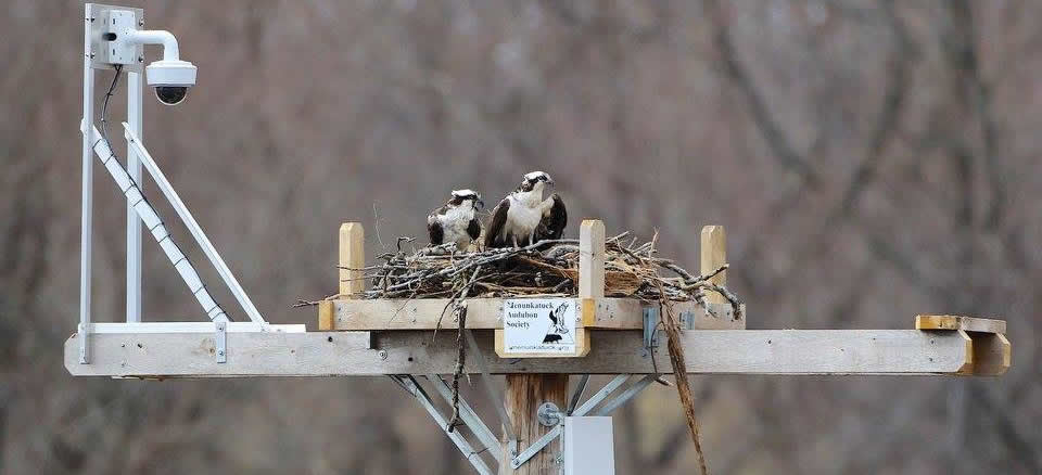 West River Osprey Camera
