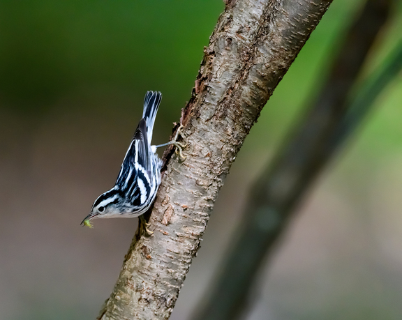 During spring migration Black-and-white Warblers can be seen crawling up and down tree branches foraging for insects in bark crevices. Photo:Robert Cook/Audubon Photography Awards