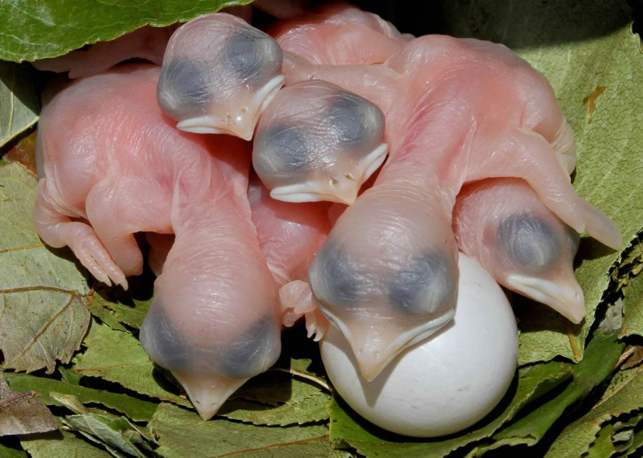 Two-day old martin chicks and an unhatched egg nestled in the leaf-covered nest. Photo: John Picard
