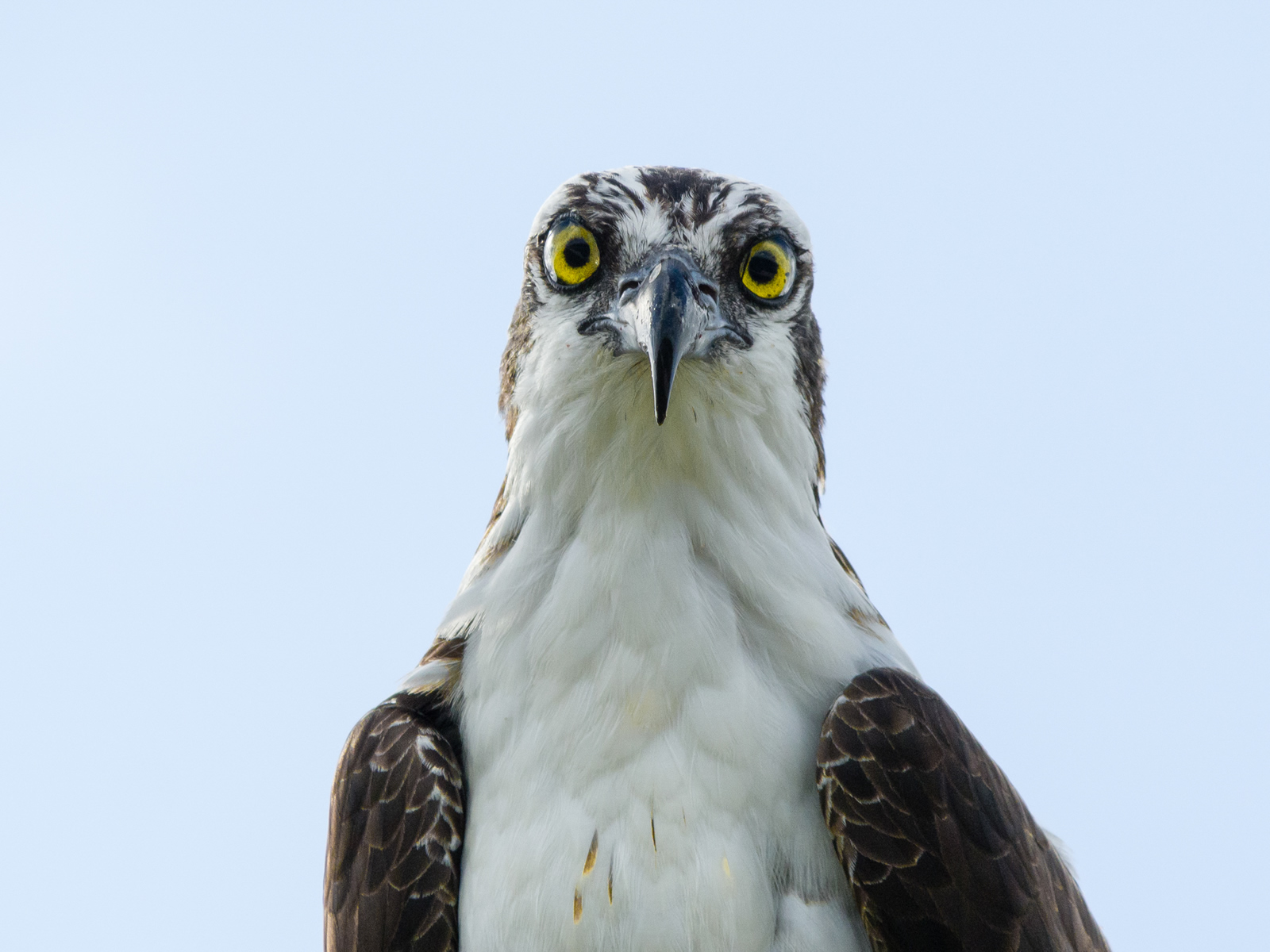 Ospreys are found on all the Earth's continents except for Antarctica. Photo: Jason Zangari/Audubon Photography Awards