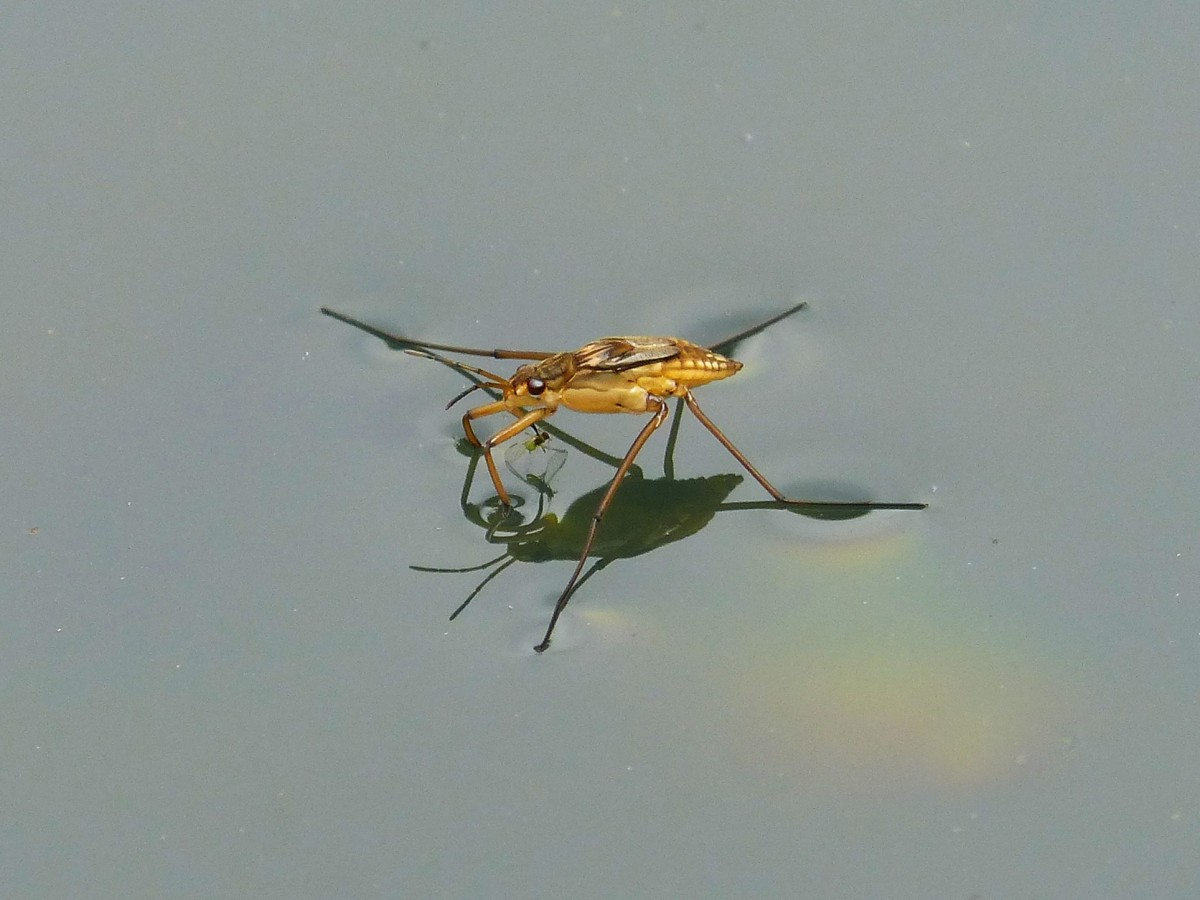gerridae_guerrido_aquatic_insect_sabater_walk_on_water_pond-616993.jpg