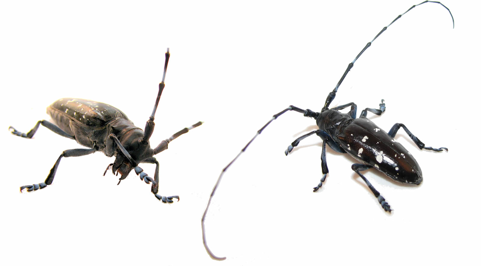 Female and male Asian longhorned beetles.