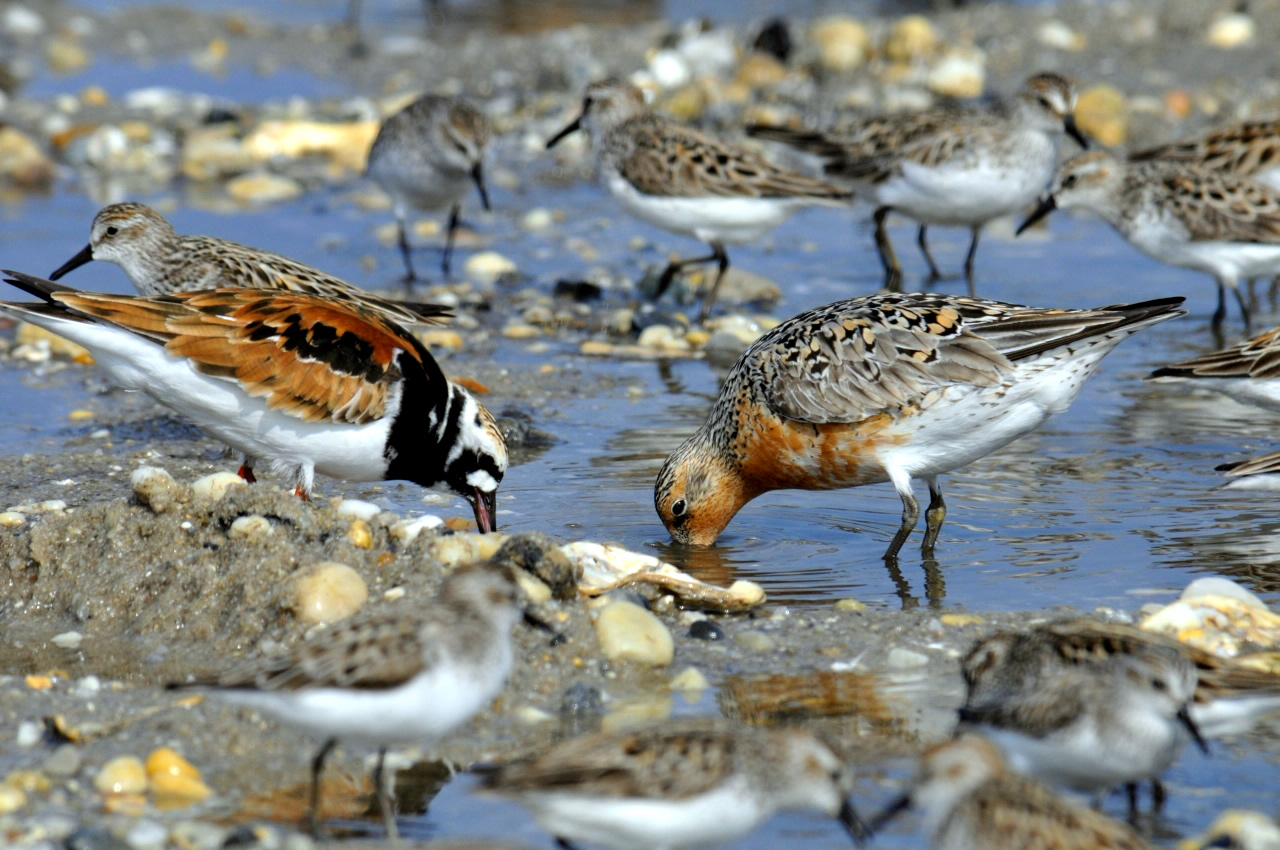 Ruddy Turnstone, Red Knot, and Semipalmated Sandpipers. USFWS