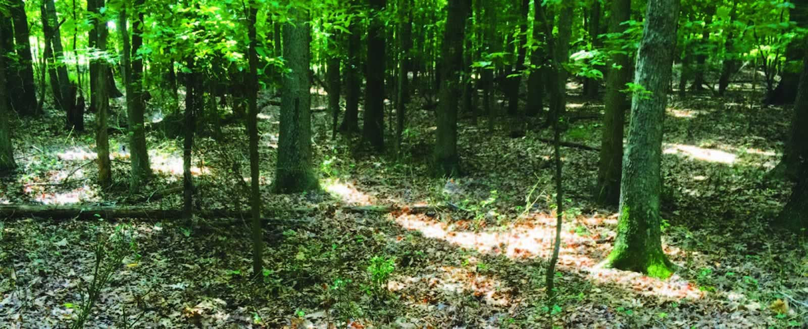 Deer-ravaged forest understory. NY DEC