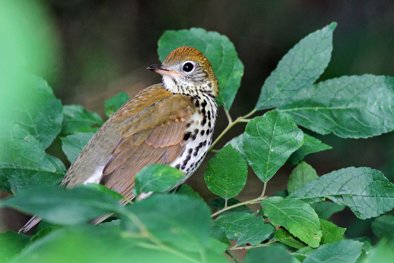 Wood Thrush. Will Stuart