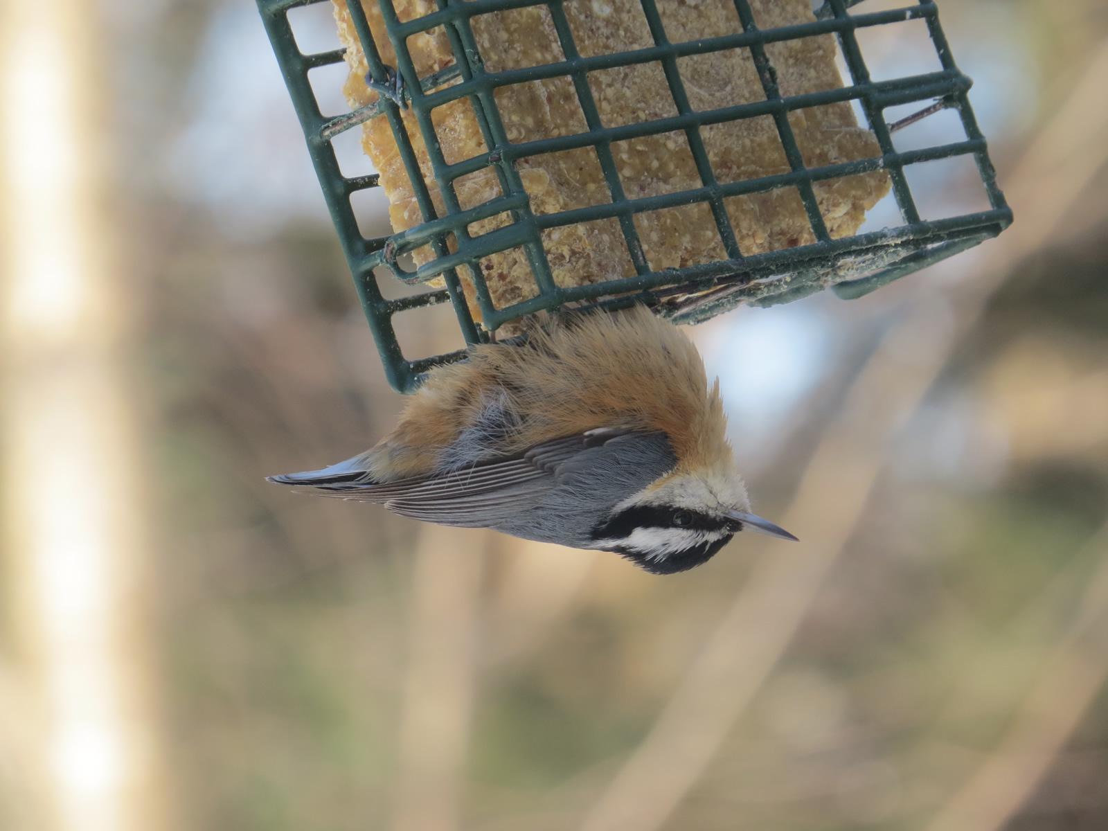 Glenn Hodgkins/Great Backyard Bird Count