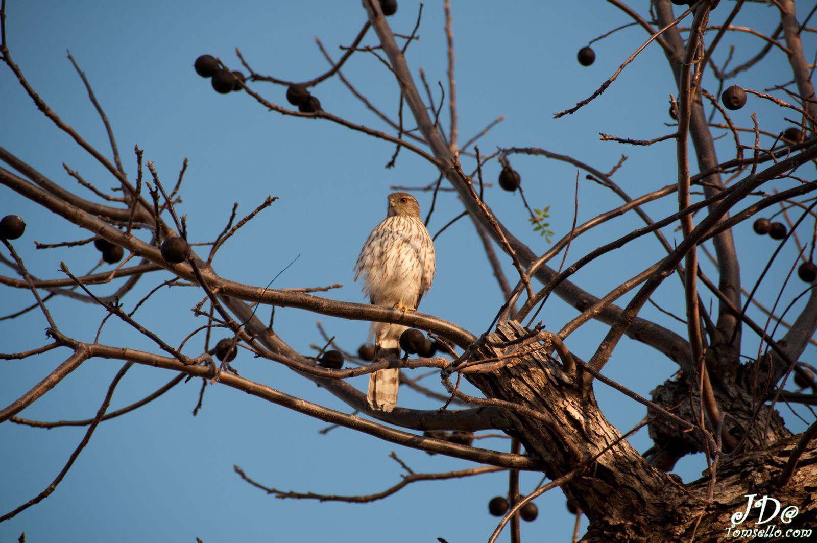 Sharp-shinned Hawk. Joanne Tomsello/Audubon Photography Awards