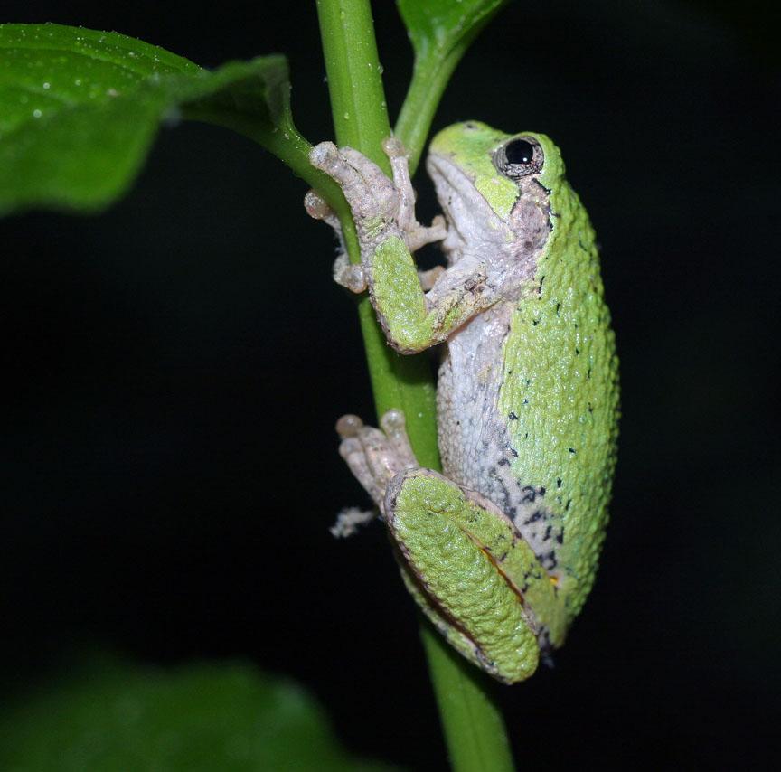 Gray_tree_frog.jpg