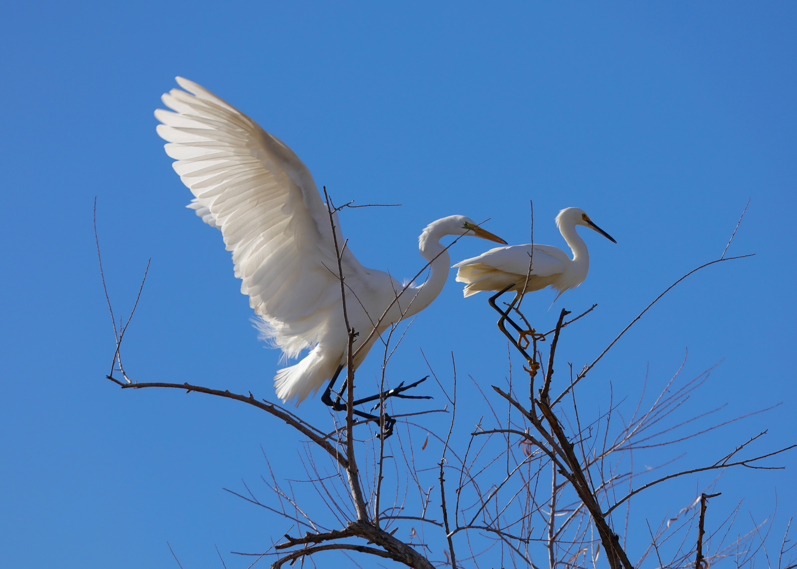 Great Egret (L) and Snowy Egret. Dennis Widman/Audubon Photography Awards