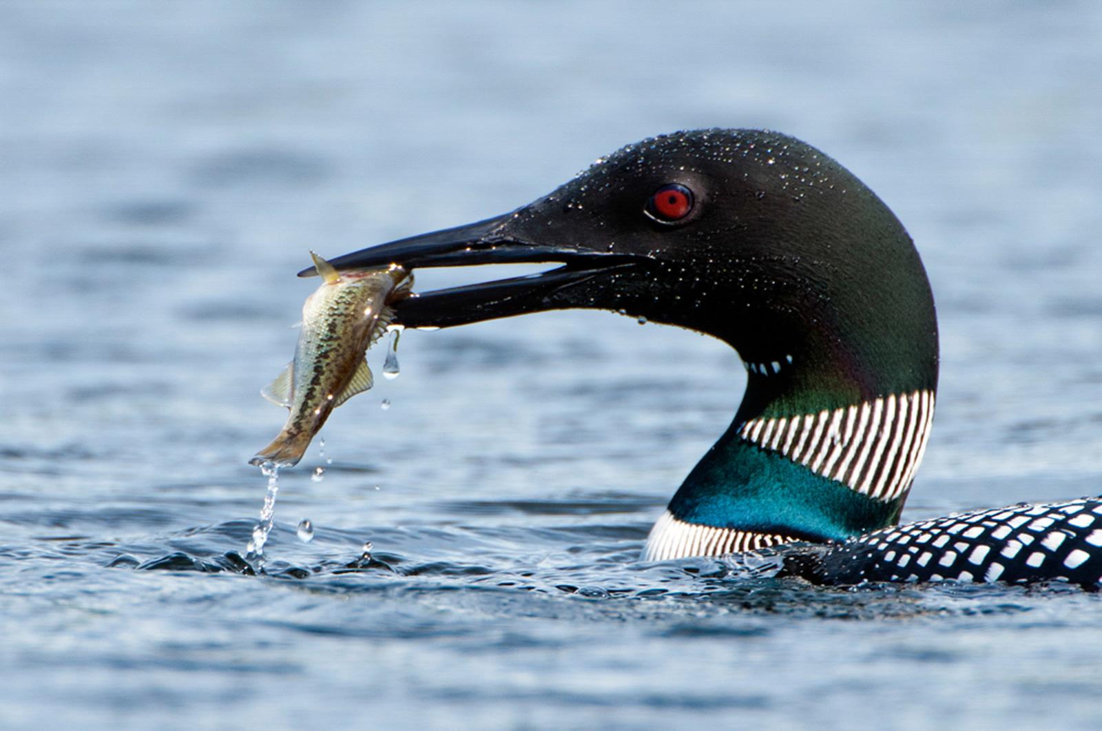 Common Loon. Robert Crootof/Audubon Photography Awards