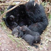 Bear_hibernating.jpg