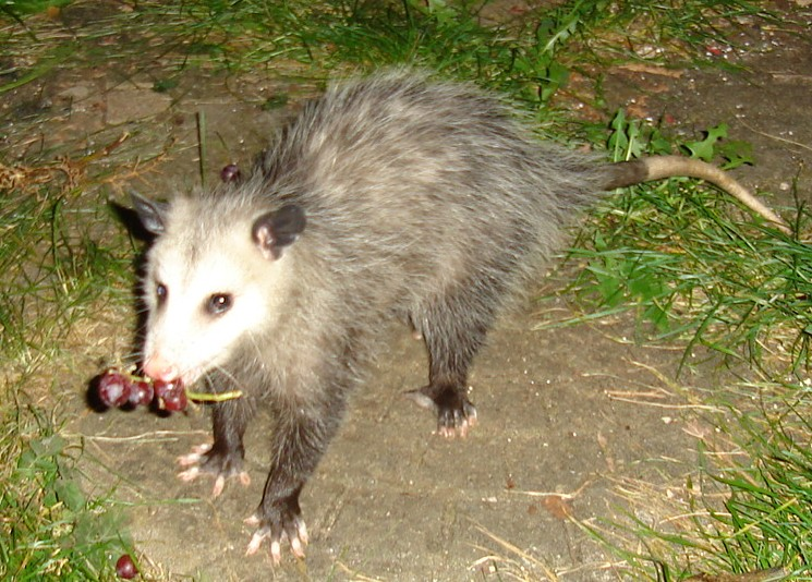 Opossum_with_grapes.jpg
