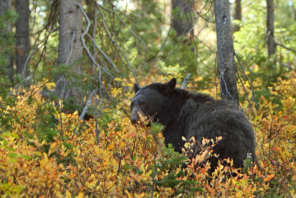 "Alan Vernon - Female ""mother"" Black Bear  CC BY 2.0"