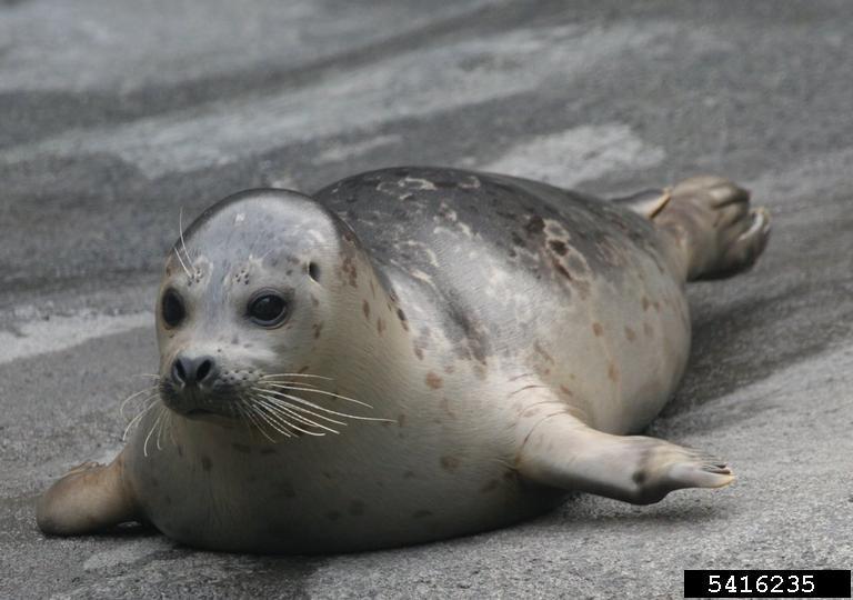 Juvenile harbor seal. Caleb Slemmons, National Ecological Observatory Network, Bugwood.org