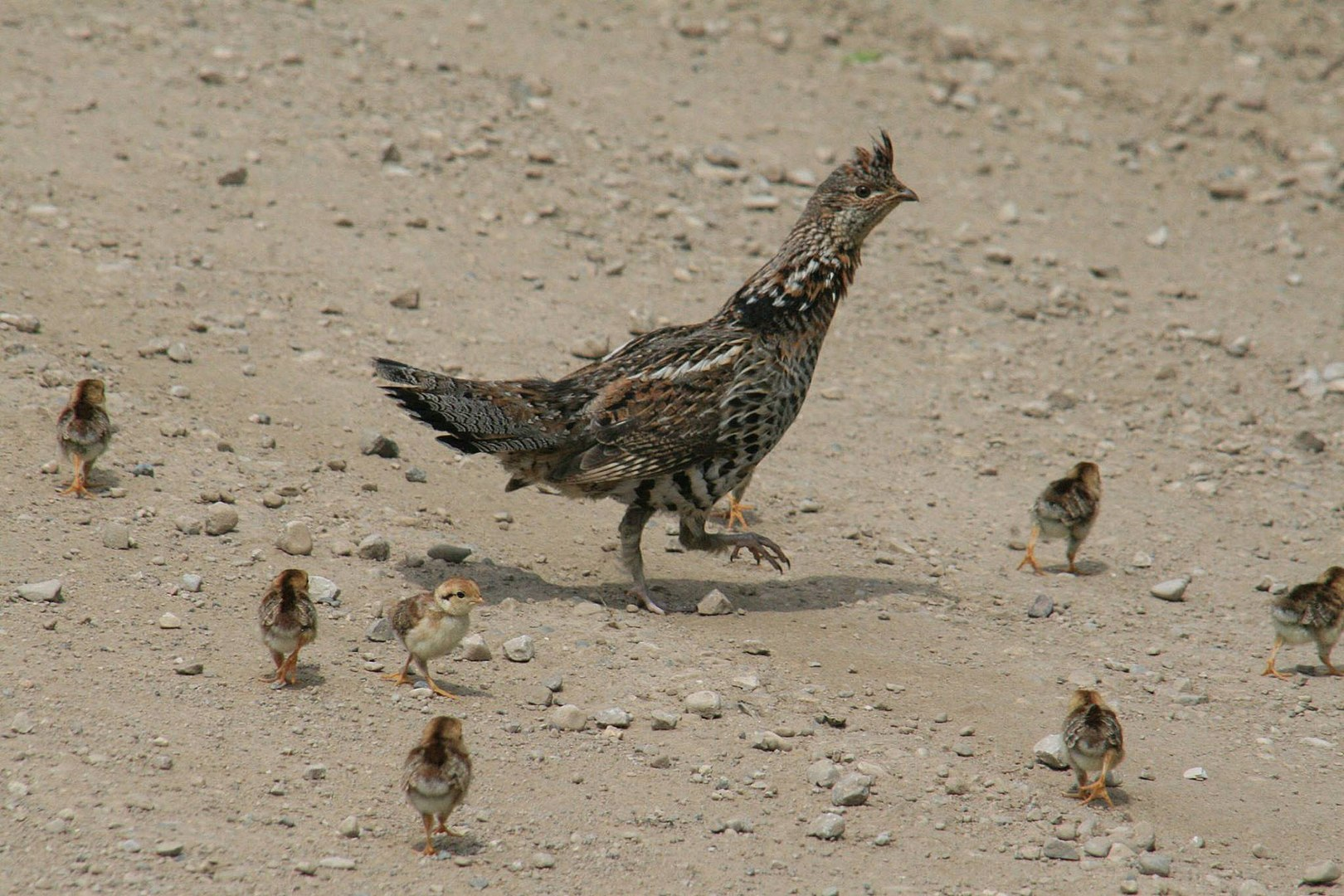 1620px-Ruffed_Grouse_with_Chicks_(18833287265).jpg
