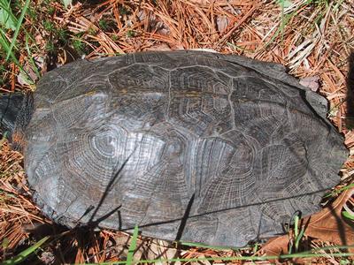 Wood turtle male carapace 5-31-04-sm.jpg