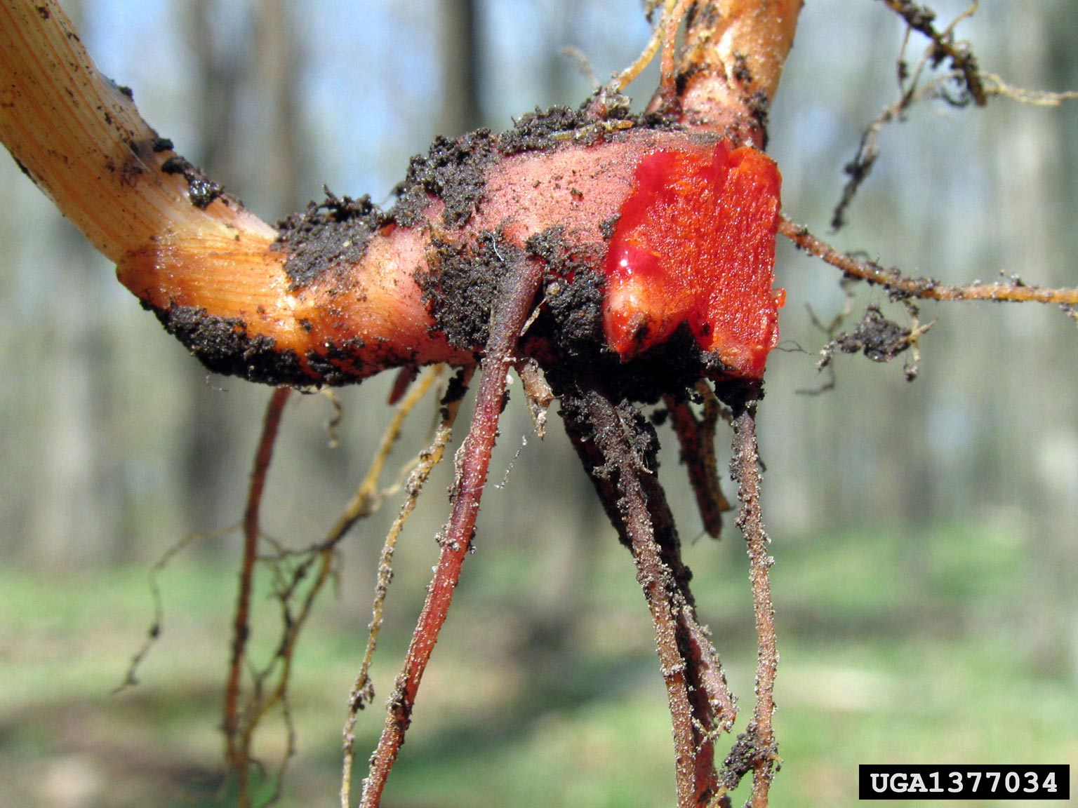 Bloodroot root. Joseph O'Brien, USDA Forest Service, Bugwood.org