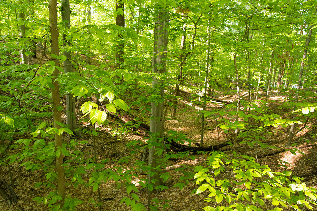 Beech forest. NatureServe/Flickr, CC By 2.0