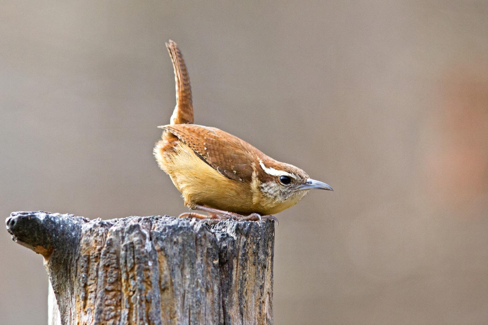 Gary Mueller / Great Backyard Bird Count
