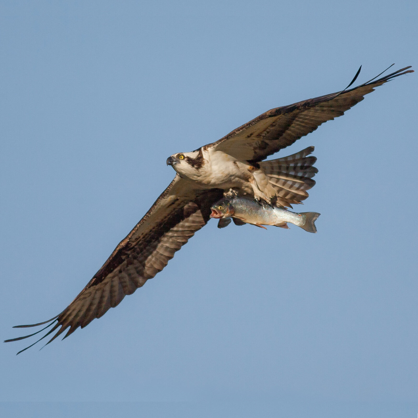 Ospreys generally carry fish head-first to lessen the drag. Photo: Benjamin Knoot / Audubon Photography Awards