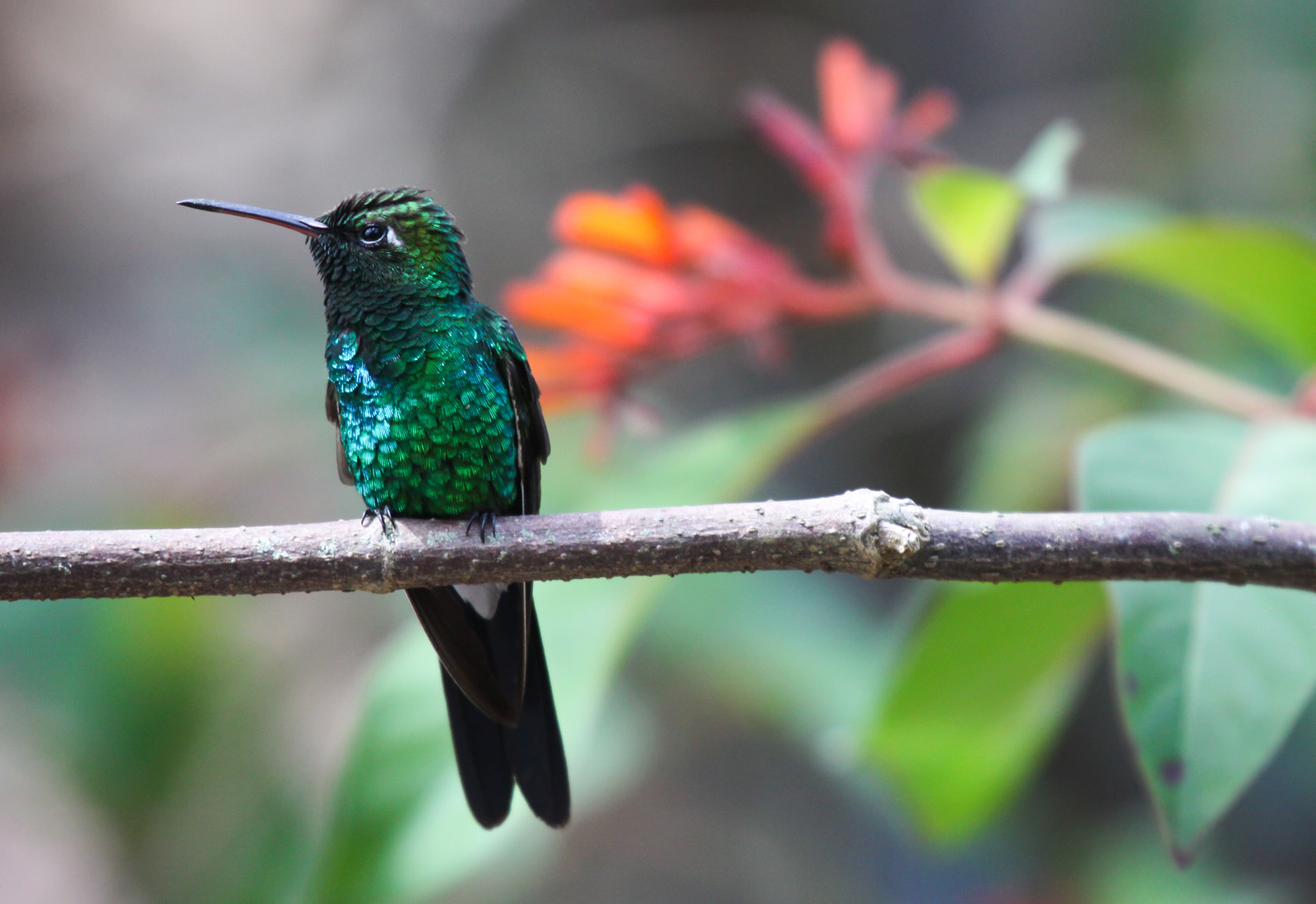 Cuban Emerald, Frank Gallo