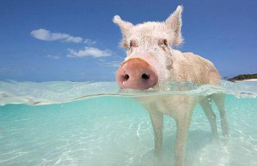 291fe7830892020e8cd4ae610c43db05--swimming-pigs-the-bahamas.jpg