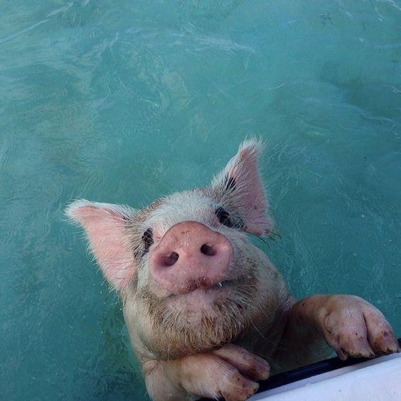 31c14695f4d5216e0b3ec212780887c1--swimming-pigs-funny-pigs.jpg