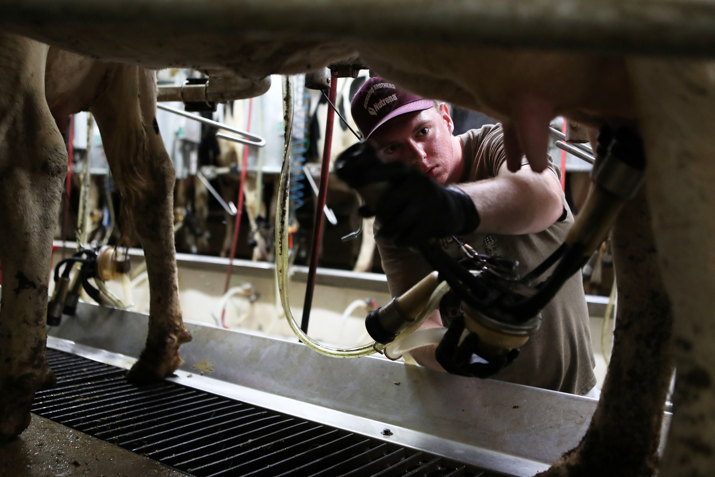 "Elias begins milking at Dwight Fry's nearby dairy farm. Elias has been milking cows for many years and it has become second nature. His parents, Eric and Cheryl, say Elias has always been very methodical with everything, especially milking. When something goes wrong, ""We tease him with a quote from Thomas the Tank Engine,"" Cheryl said. ""We tell him we've upset his arrangements."""