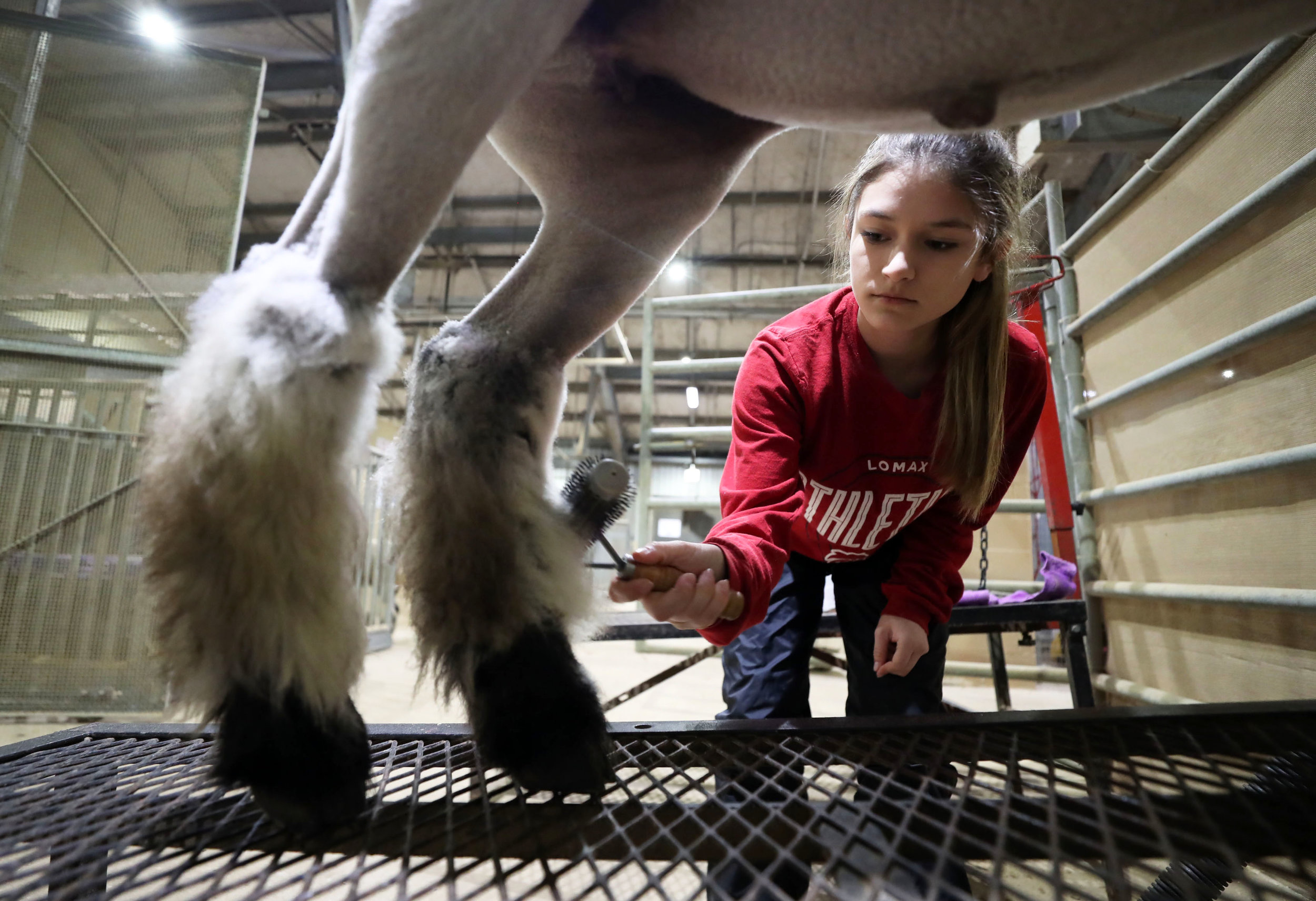 Morgan Perez brushes her lamb, Vader's wool to detangle any knots at the Dickinson Agriculture Science Facility on Tuesday, Feb. 26, 2019. Perez must keep Vader's wool under wrap, because Vader will pick the hair off when he's alone.