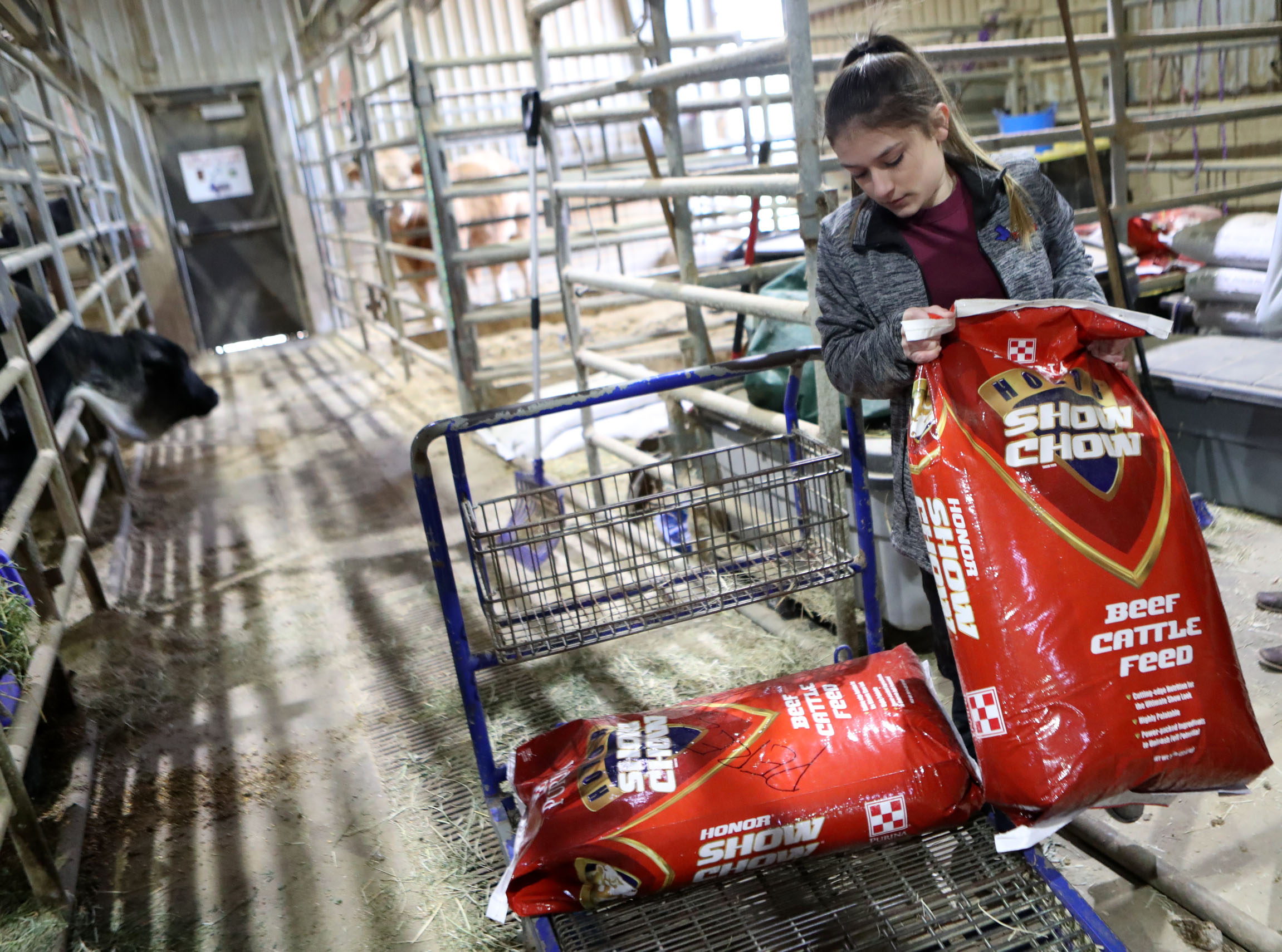 Morgan Perez picks up food for her heifer while preparing for the Houston Livestock Show and Rodeo at the Dickinson Agriculture Science Facility on Tuesday, March 5, 2019. Perez placed seventh in the Junior Breeding Beef Heifer Show: Chianina at the Houston rodeo.