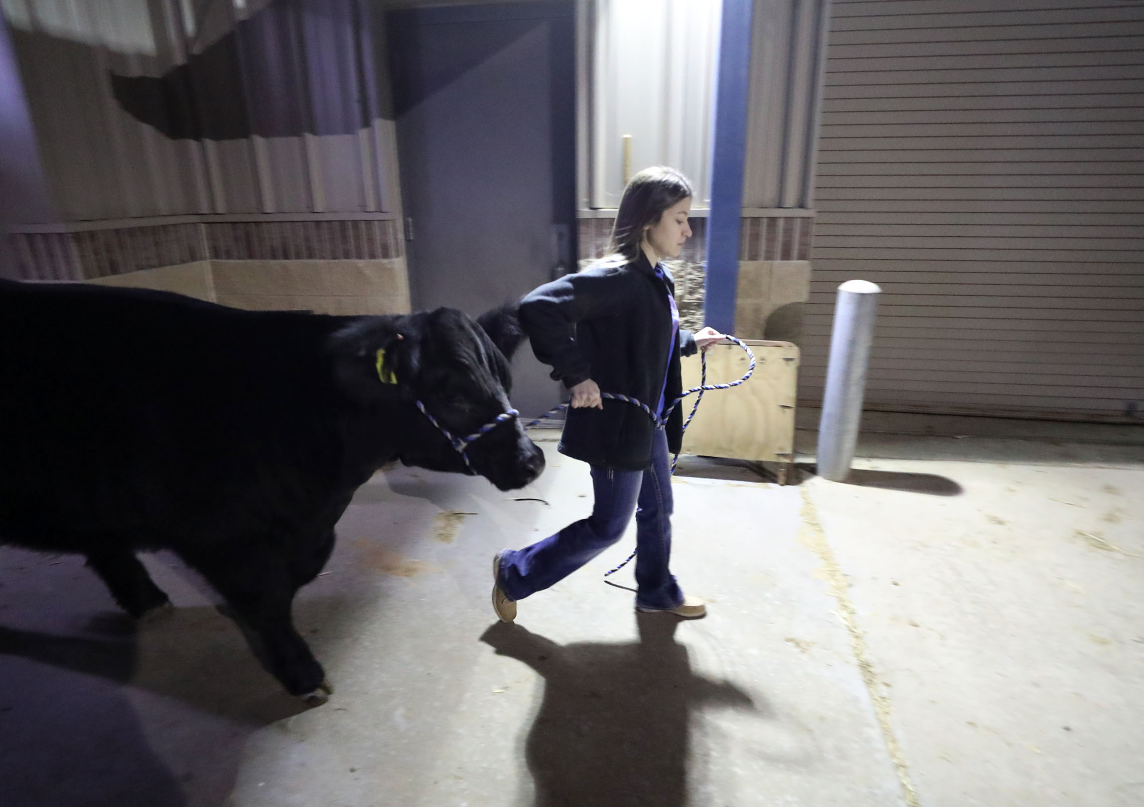 Morgan Perez walks her heifer, Mavis, to the trailer while preparing to leave for the Houston Livestock Show and Rodeo at the Dickinson Agriculture Science Facility on Wednesday, March 6, 2019. Perez and the other FFA students had to leave Dickinson at 4:00 a.m.