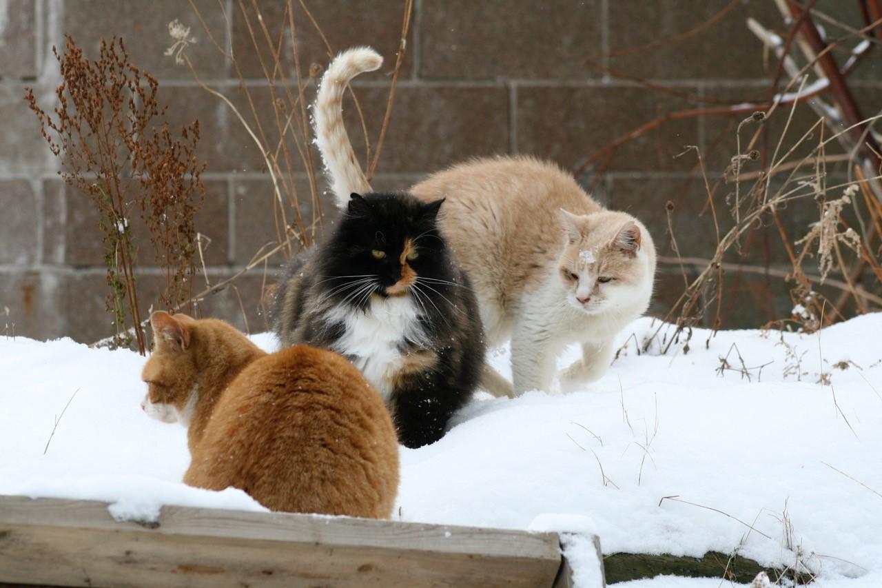 snow cats.jpg
