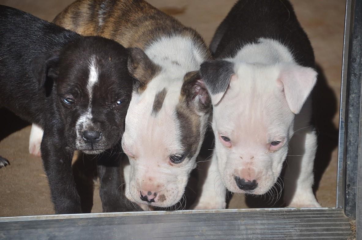 Cathy Piolino - puppy vaccines (4 dogs)  JF.jpg