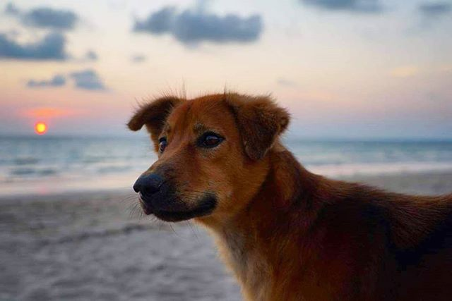 Puppy love...Charlie the beach dog . . #lanta #kolanta #kohlanta #krabi #thailand #roundhouse #lantaroundhouse #beach #beachfront #whitesand #chillout #peace #peaceandlove #goodenergy #goodvibes #backpackers #backpacking #travel #traveling #paradise #beachdog #chillout #chill #sunset
