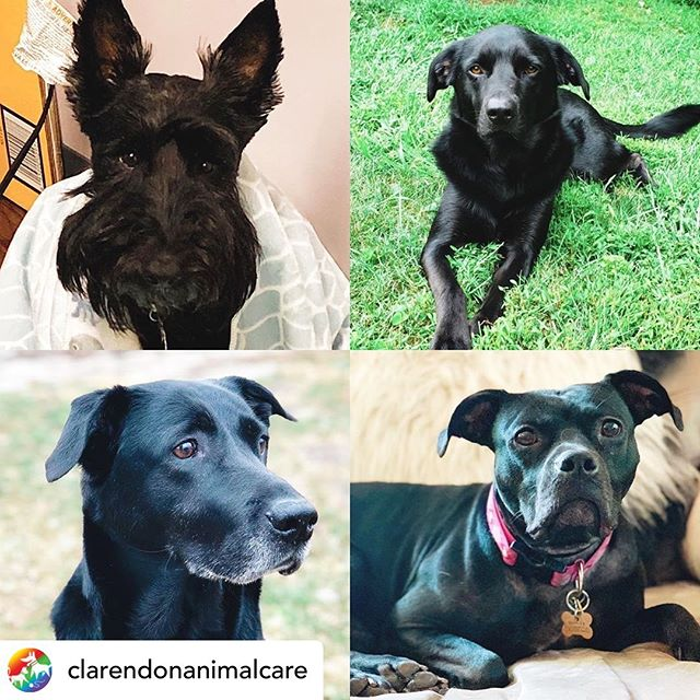 It's NATIONAL BLACK DOG DAY! How many of you have black dogs? #nationalblackdogday Posted @withrepost • @clarendonanimalcare It's National Black Dog Day! Did you know that black dogs are less likely to be adopted from shelters? It's a phenomenon called Black Dog Syndrome, where they are passed over in favor of lighter colored animals. Raise your hand if you love a black dog! 🙋♀️🙋♂️🙌 #raisebothhands #nationalblackdogday #blackdogsyndrome #adoptallthedogs #blackdogsofinstagram #staffpets #scottishterrier #scottiesofinstagram #labradorretriever #labsofinstagram #staffybull #pitbullsofinstagram #clarendonanimalcare #cacfamily #cacawesome
