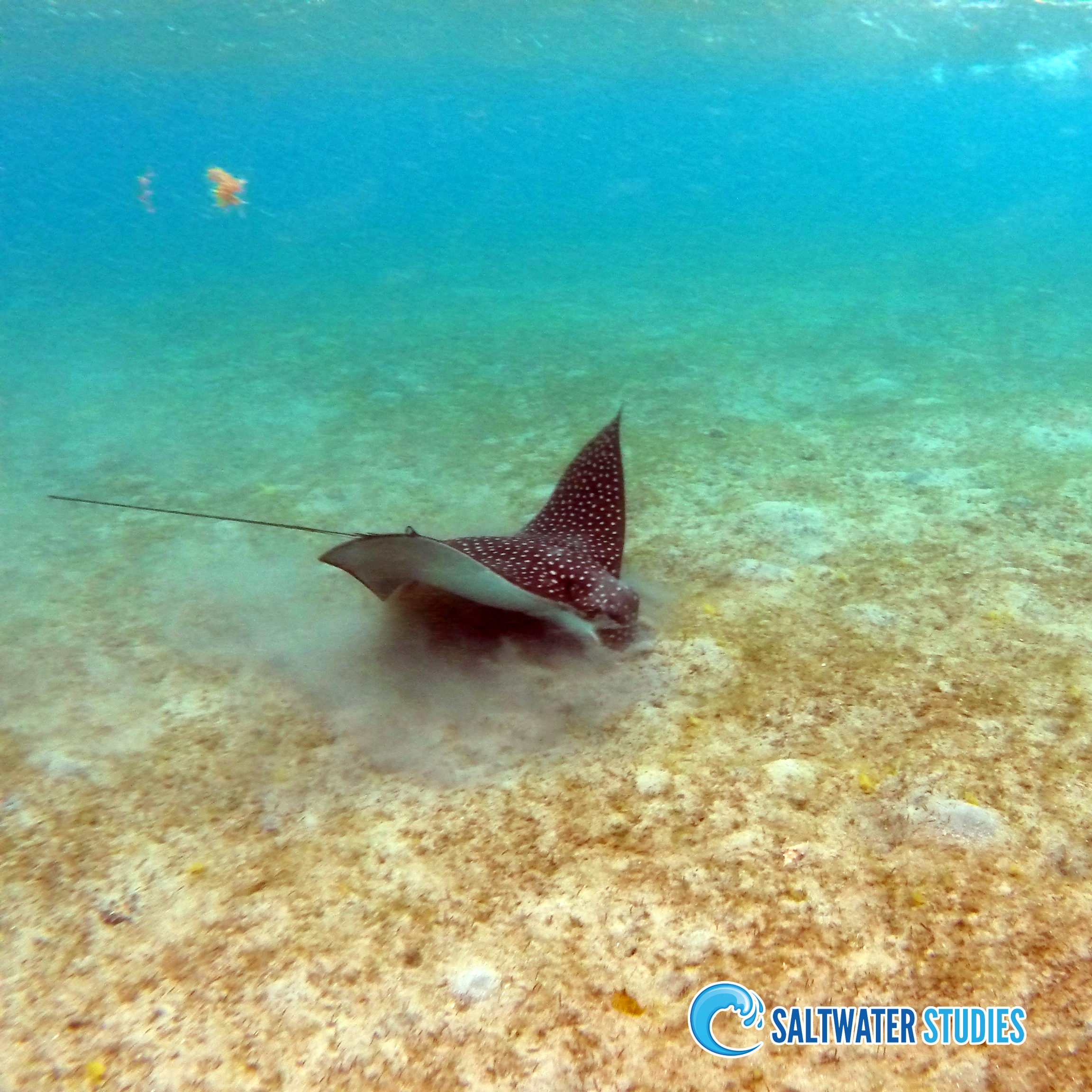 Instagram Pics - Spotted Eagle Ray.jpg
