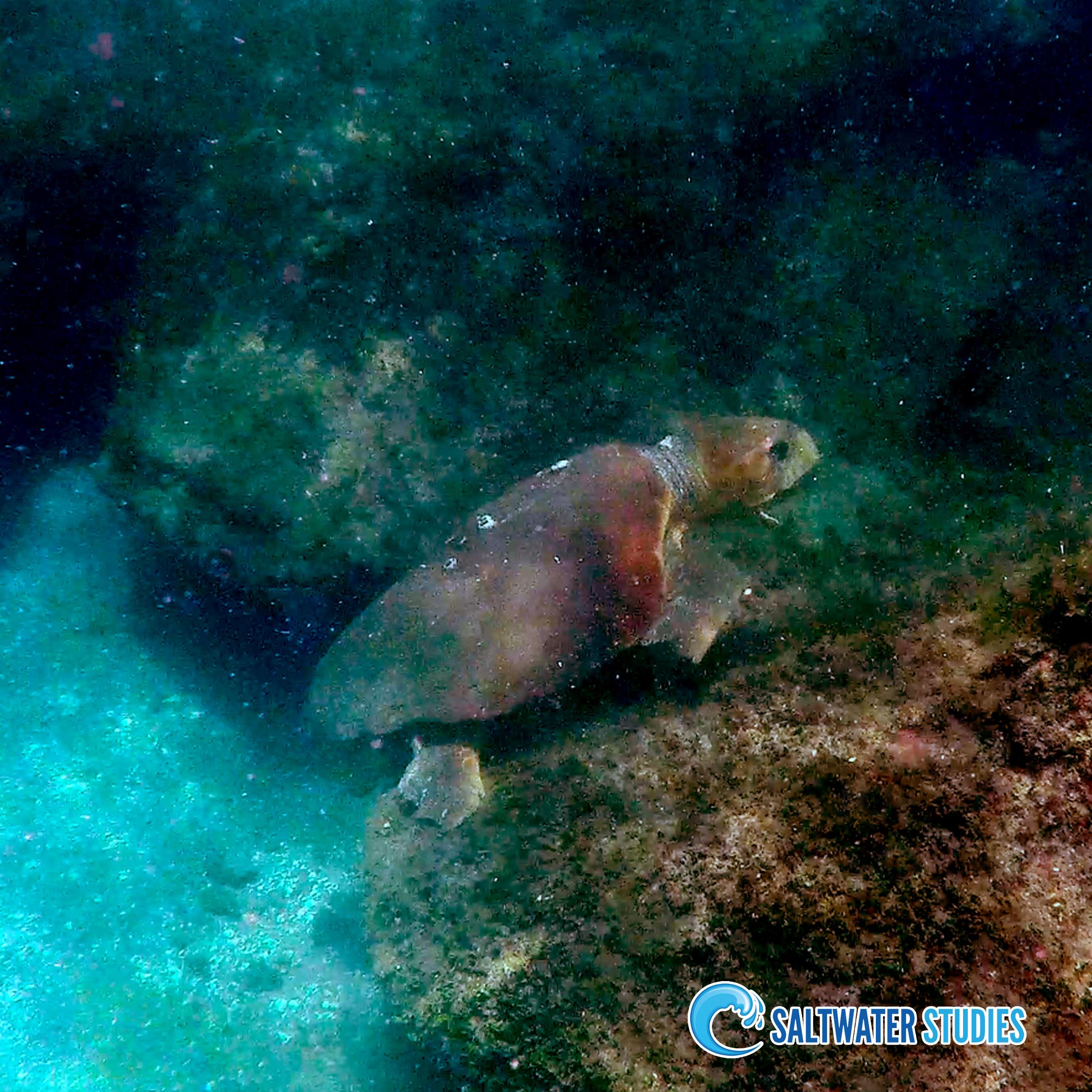 Instagram Pics - Loggerhead Sea Turtle.jpg