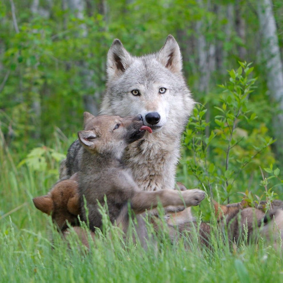 WolfCubsA.jpg