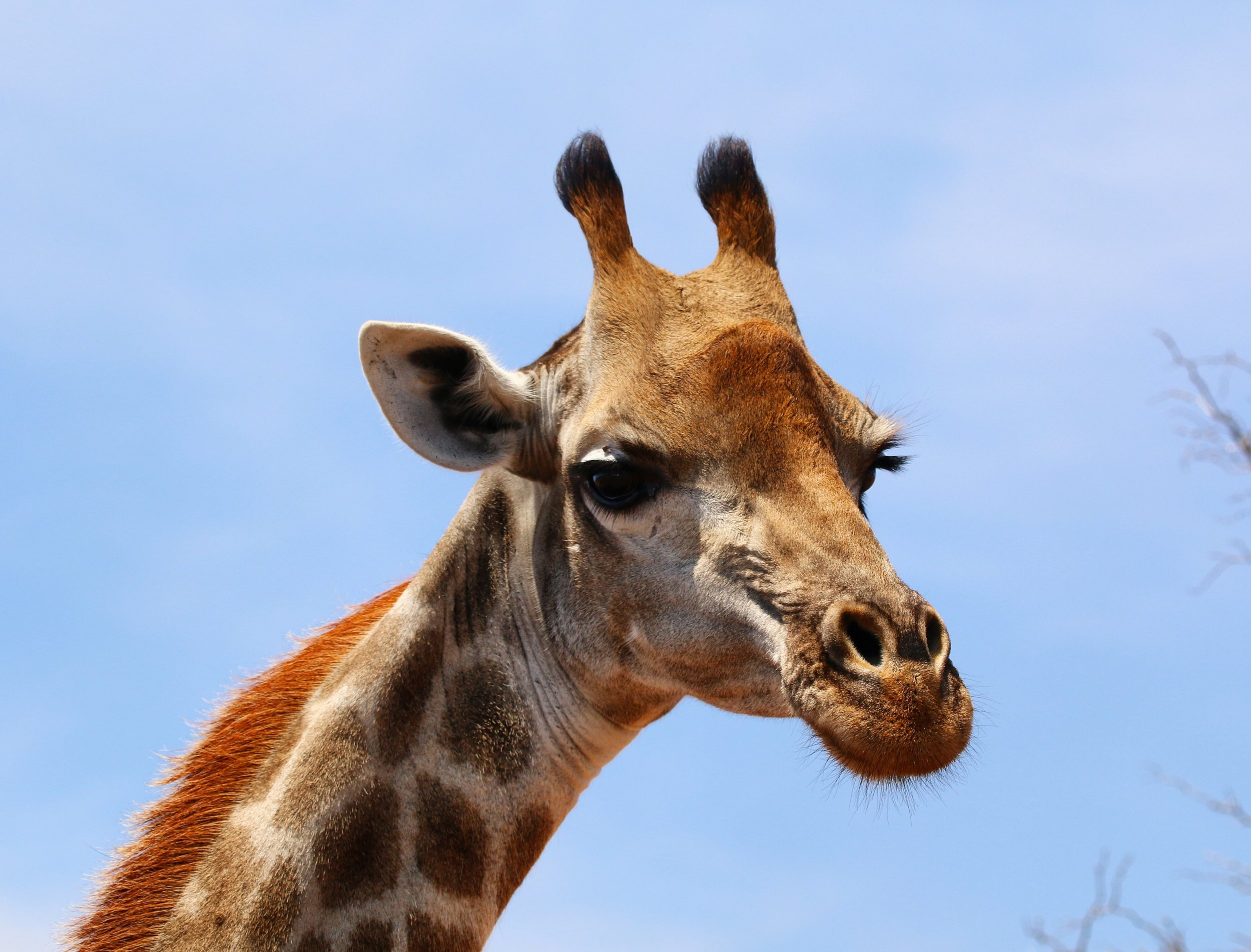 giraffe-south-africa