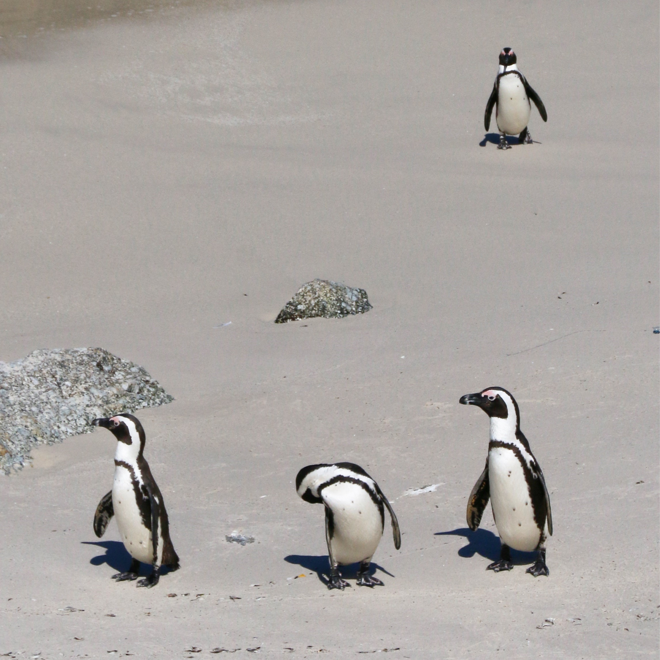 penguins-south-africa-1
