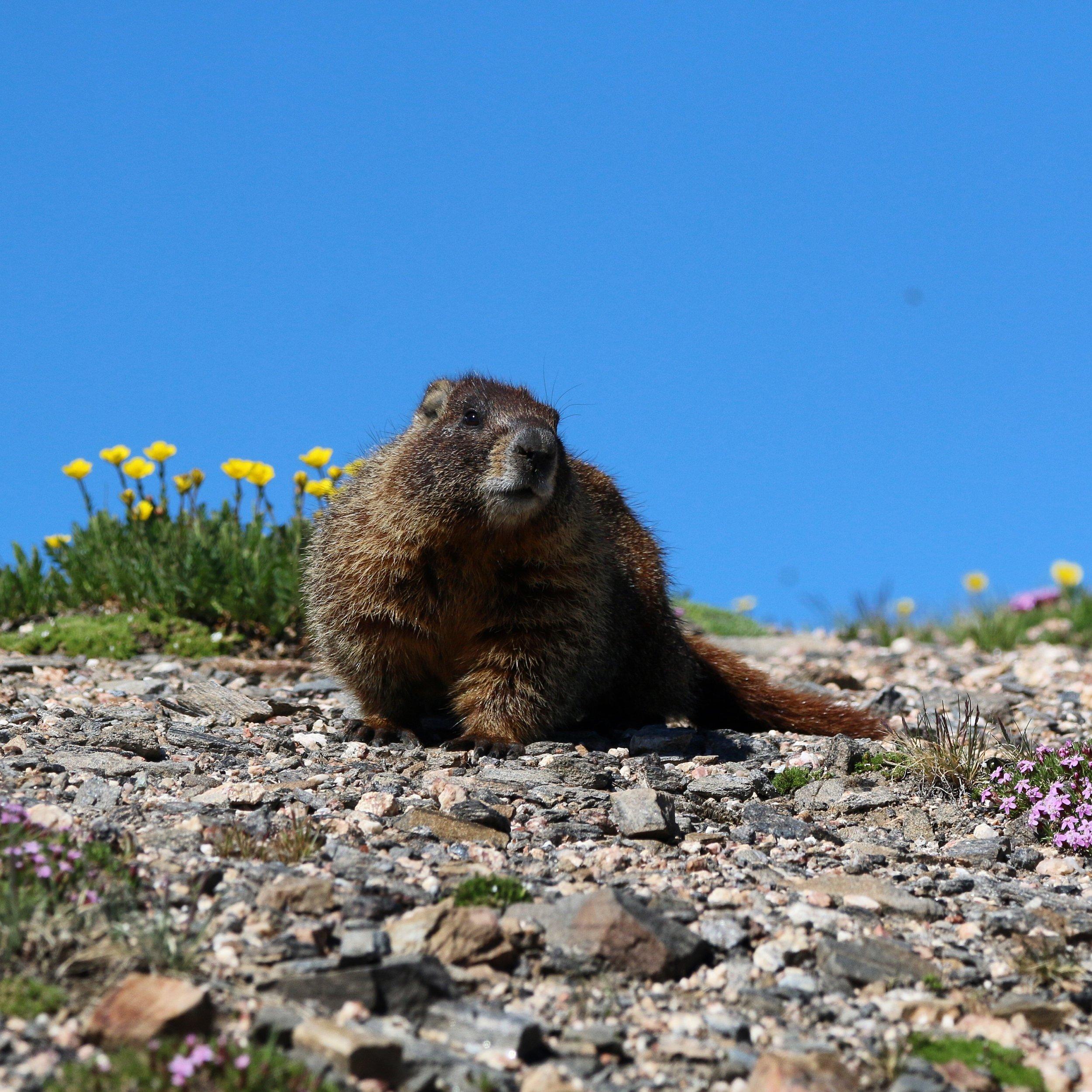 marmots-colorado