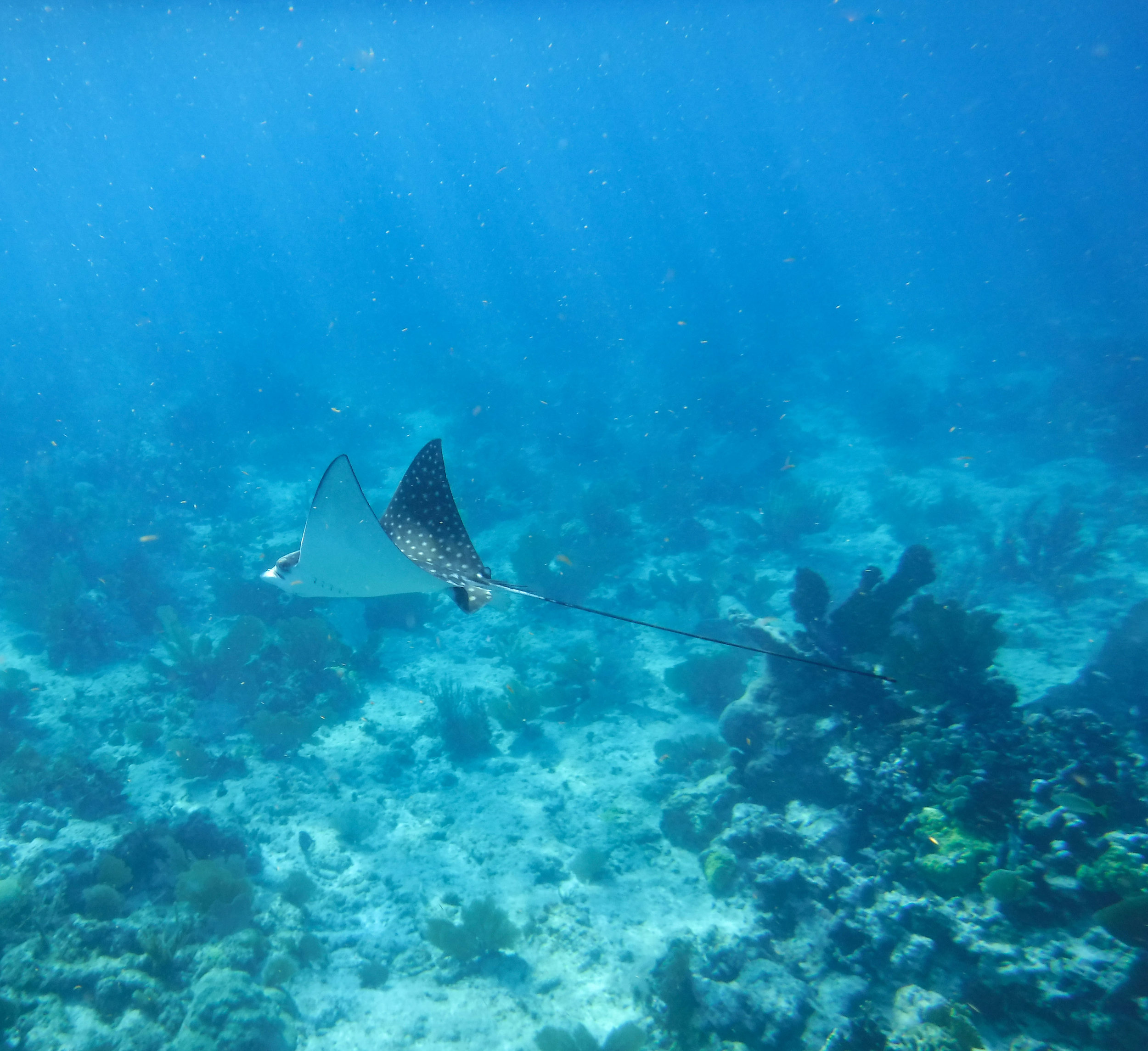 'Ester' the Spotted Eagle Ray